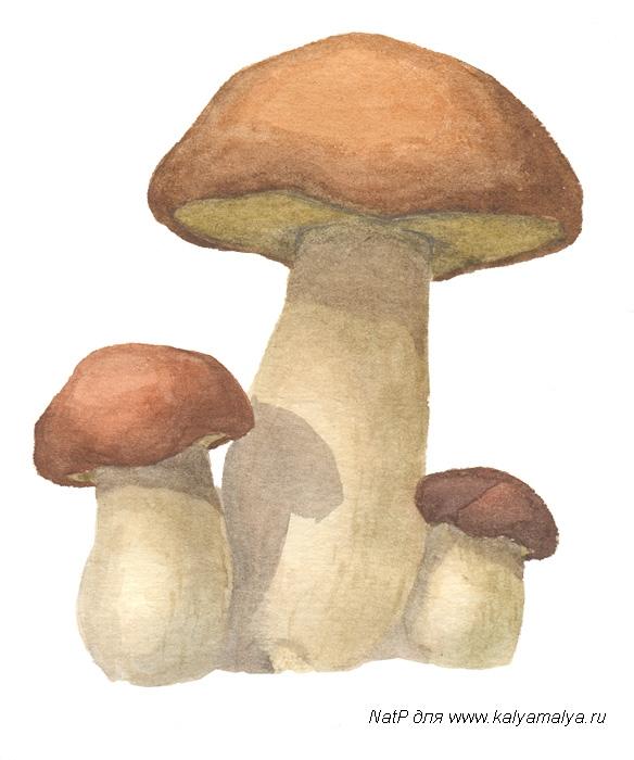 Учимся рисовать. Белые грибы: actibo.ru/page/kak-narisovat-belyj-grib